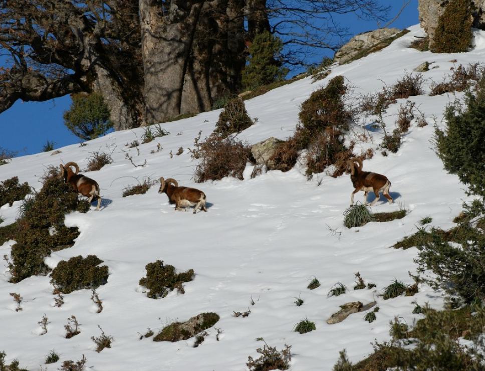 Mufloni dopo la nevicata in Barbagia