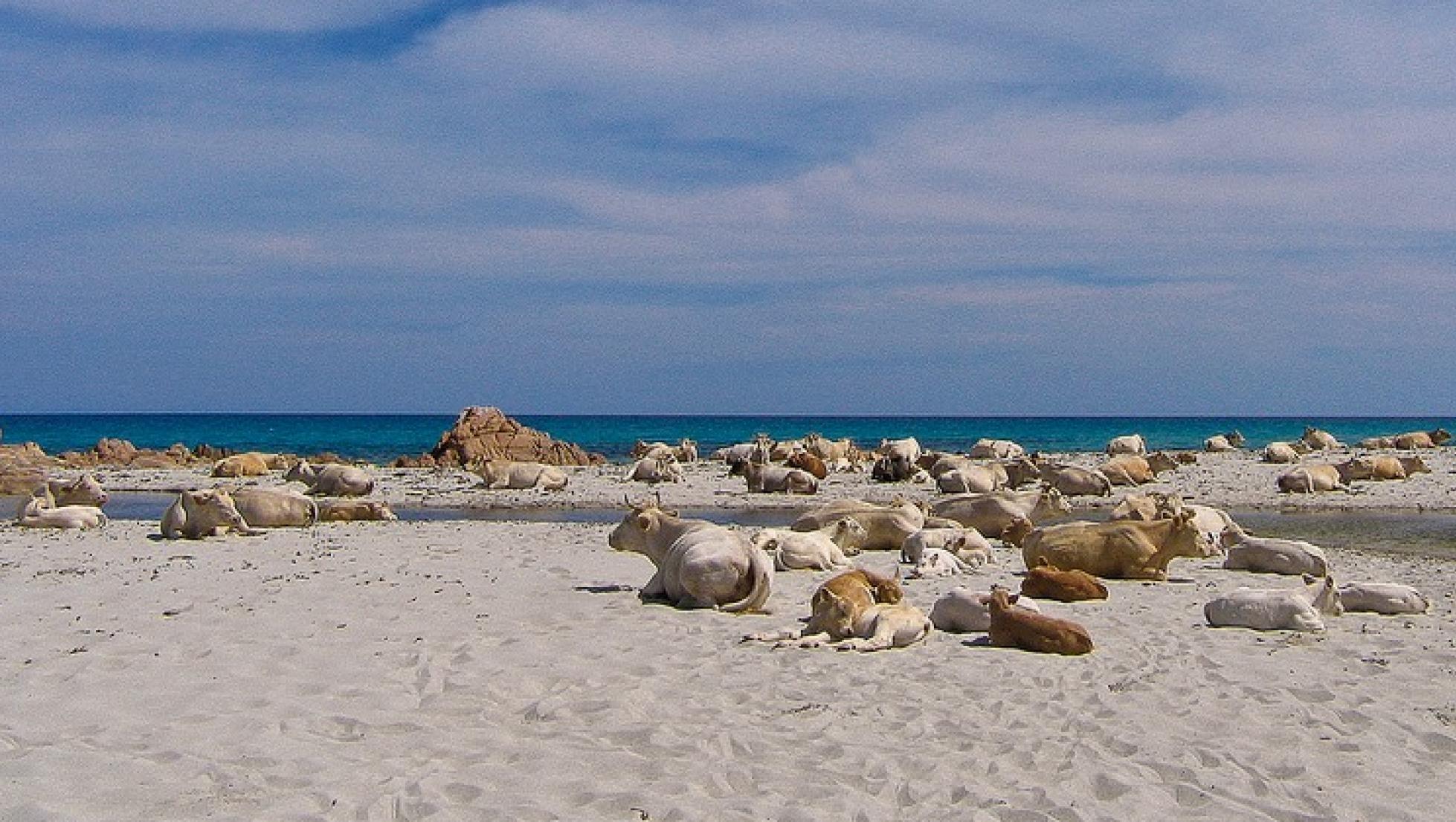 Mucche nella spiaggia di Berchida - Siniscola