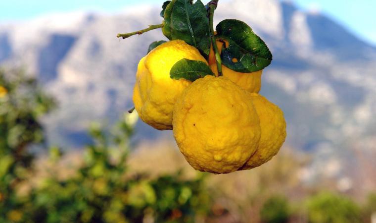 Sa pompia, agrume selvatico - Siniscola