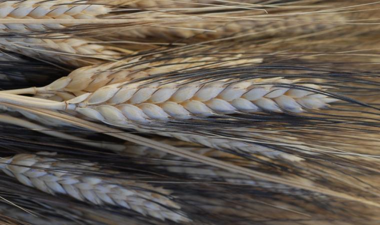 Orotelli, Spighe di Grano; Ears of corn, Orotelli