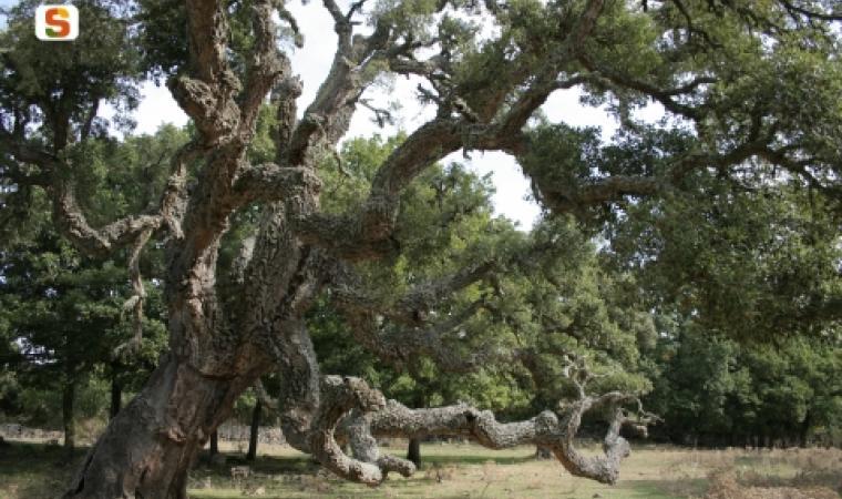 Albero monumentale della foresta demaniale monte Pisanu - Autore Saba Alessio
