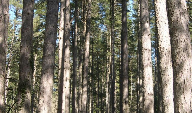 Bultei, pineta di Su Tassu; Bultei, pine wood of Su Tassu; Bultei, Pinienwald Su Tassu
