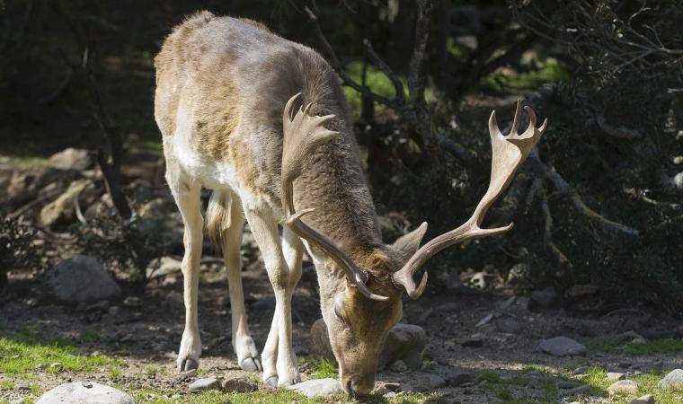 Monte Arcosu - Cervo