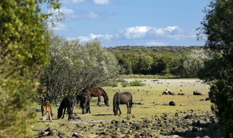 Cavallini della giara  - Genoni