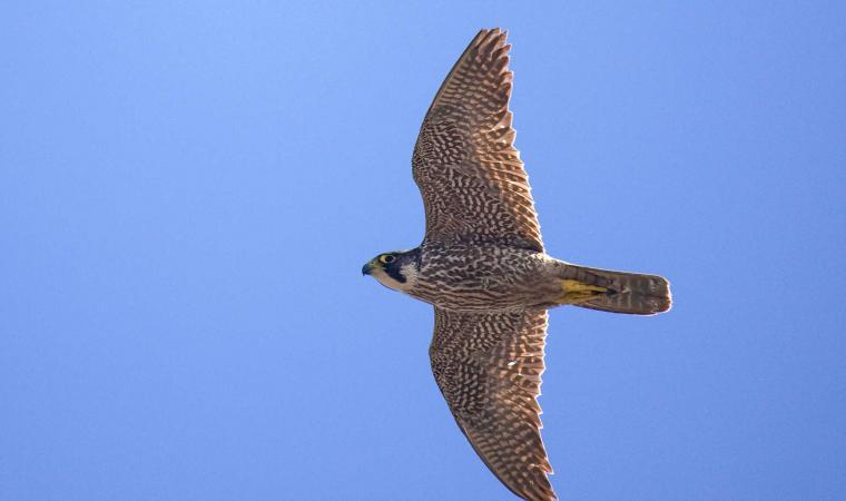 Parco Regionale di Porto Conte, falco pellegrino - Alghero