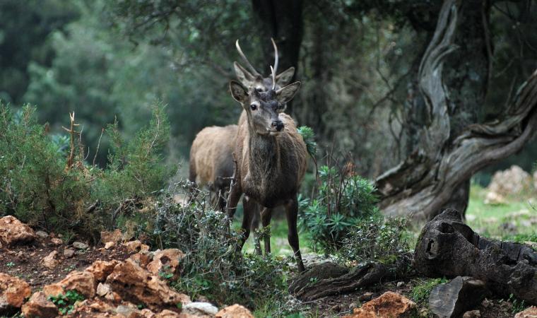 Oasi Portiscra, riserva del cervo sardo - Urzulei