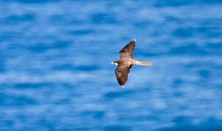 Isola Piana, falco della Regina