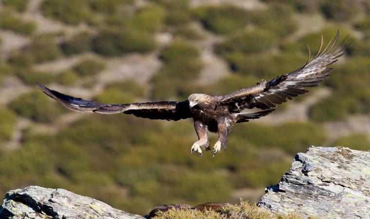 Aquila reale - Massiccio del Gennargentu