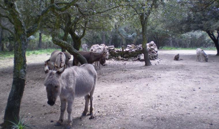 Asinelli nel parco Mui Muscas - Ortueri