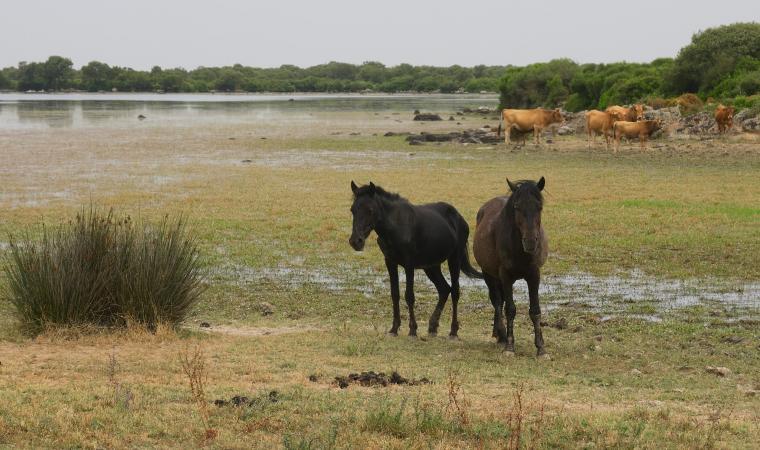 Pauli Majori e cavallini della Giara - Tuili
