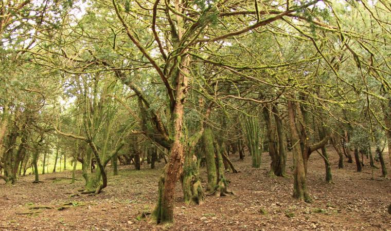 Sos Nibberos, bosco di tassi secolari - Bono