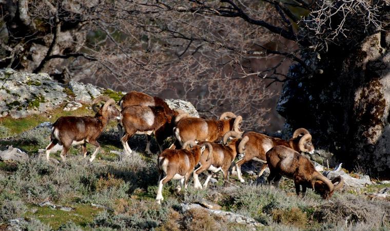 Gennargentu - Mufloni al pascolo