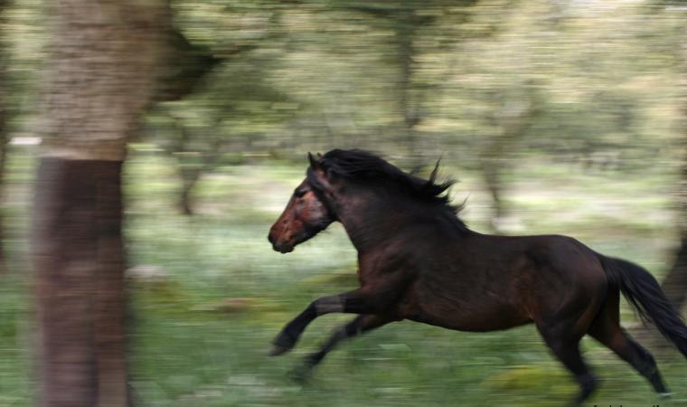 La Giara - cavallo in corsa