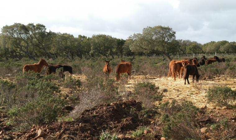 Cavallini della giara - Gesturi
