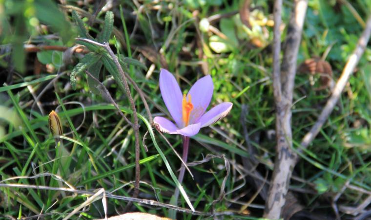 Fiore selvatico - Giara