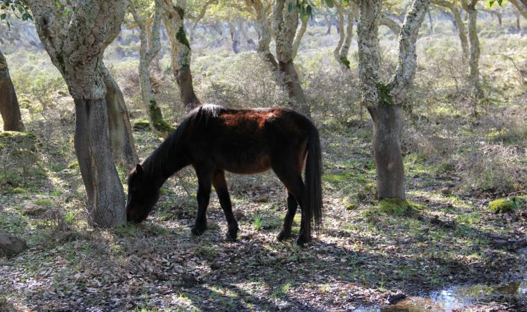 Cavallino della Giara - Gesturi