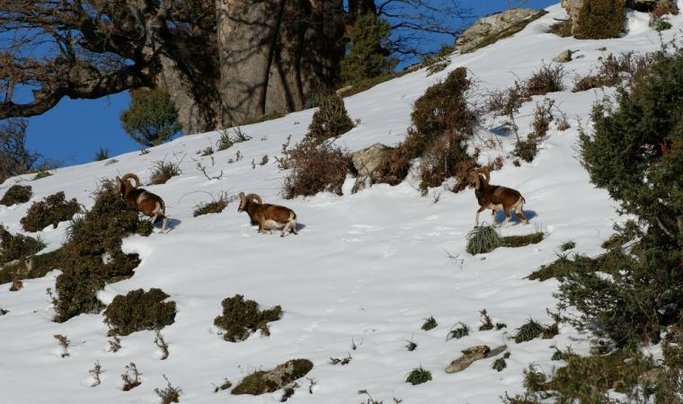 Mufloni sulla neve - Barbagia