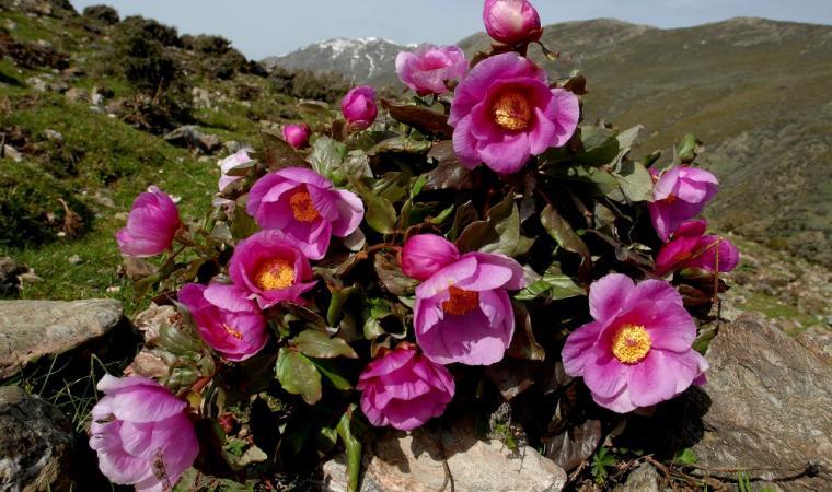 Sa rosa 'e monte - Punta Paolina - Gennargentu