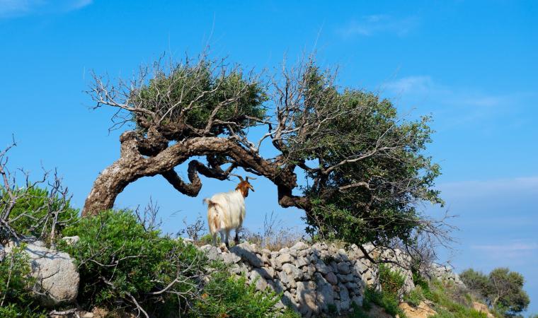 Ginepri e capre - Costa Verde