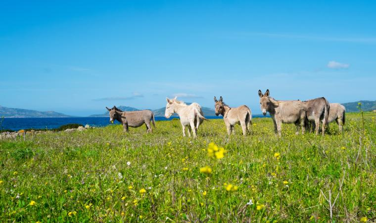 Parco Nazionale dell'Asinara, asinelli - Stintino