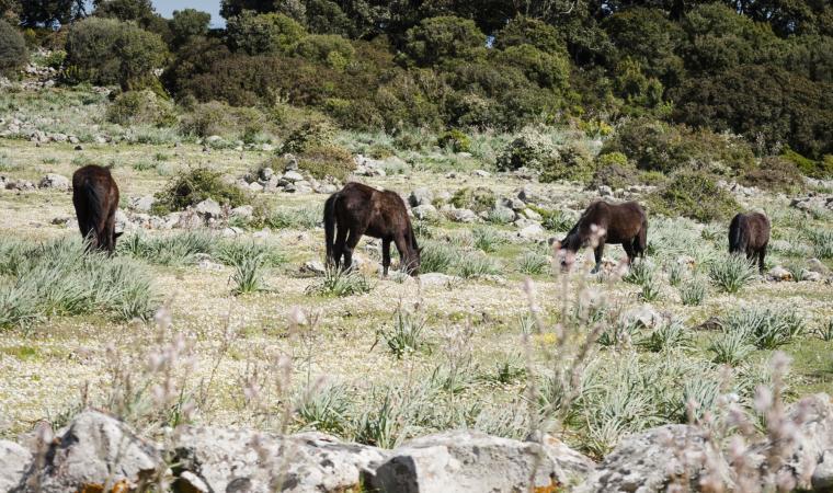 Giara - cavallini