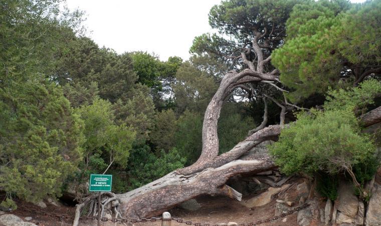 Caprera - pino di Garibaldi - La Maddalena