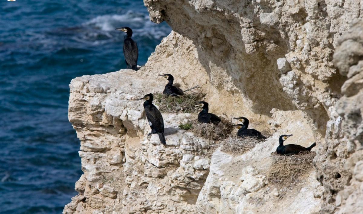 Su Tingiosu, cormorani nel sito di nidificazione Autore: Sedda Giuseppe