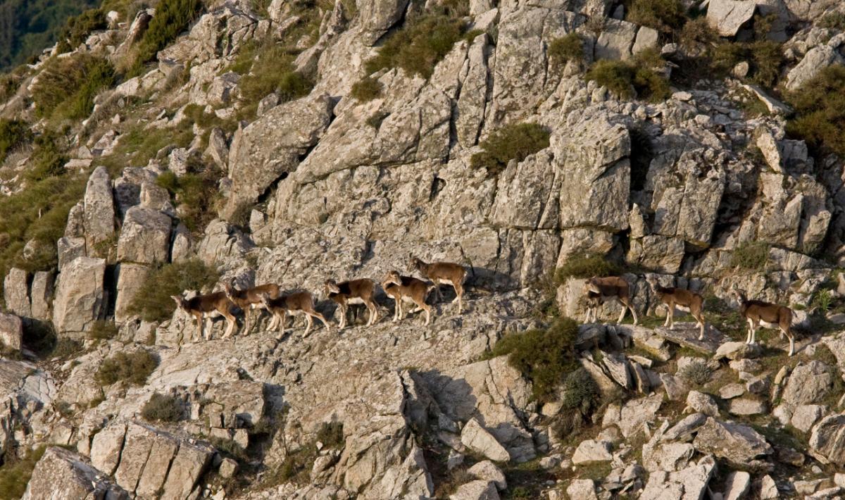 Monte Ferru, esemplari di mufloni; Monte Ferru, mouflons