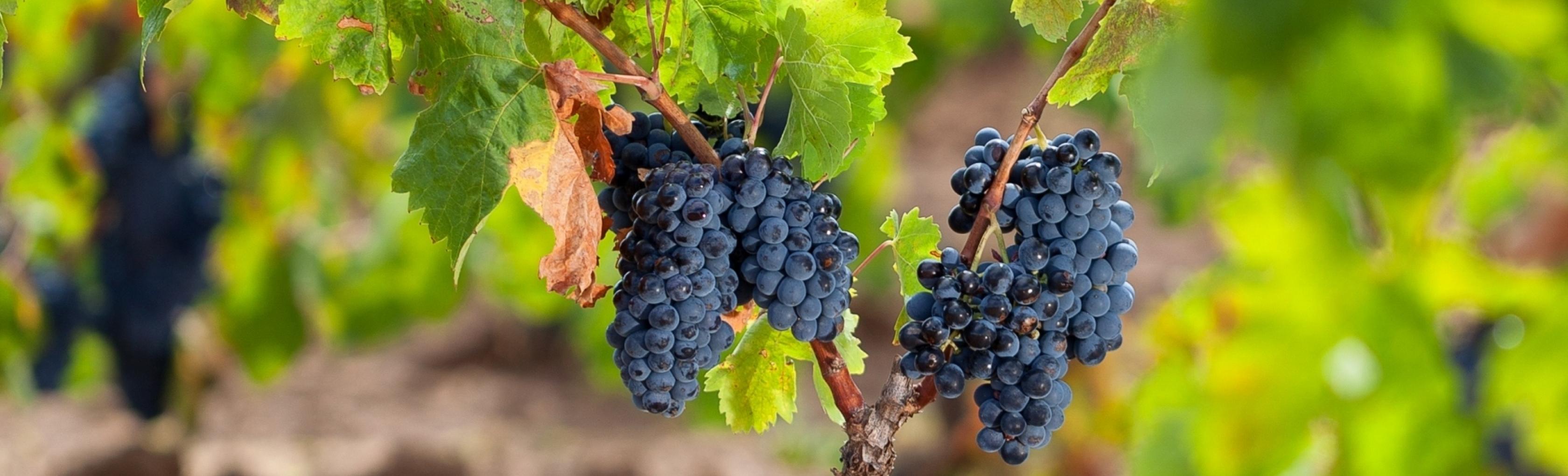 Grappoli di uva cannonau